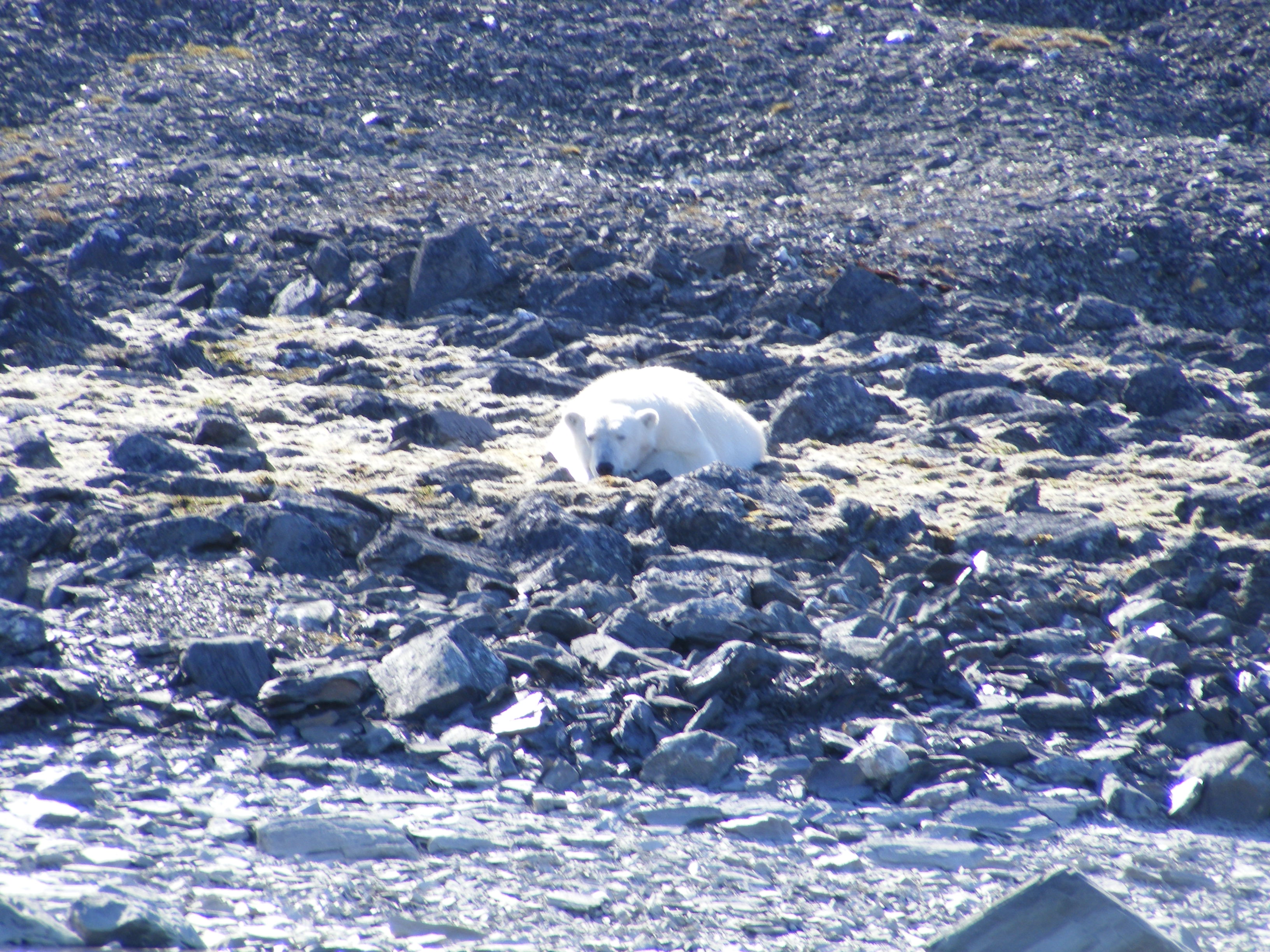 A polar bear lies on its front on a rocky shore